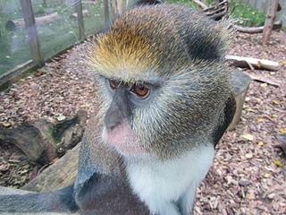 Campell Monkey